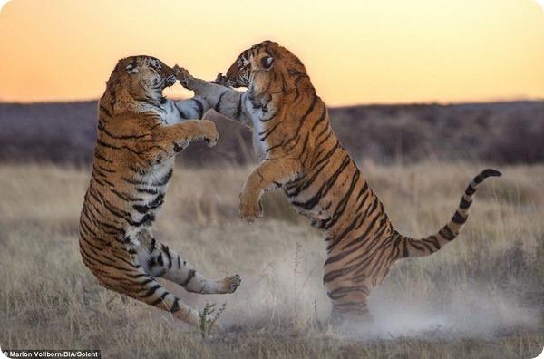 Схватка двух тигриц