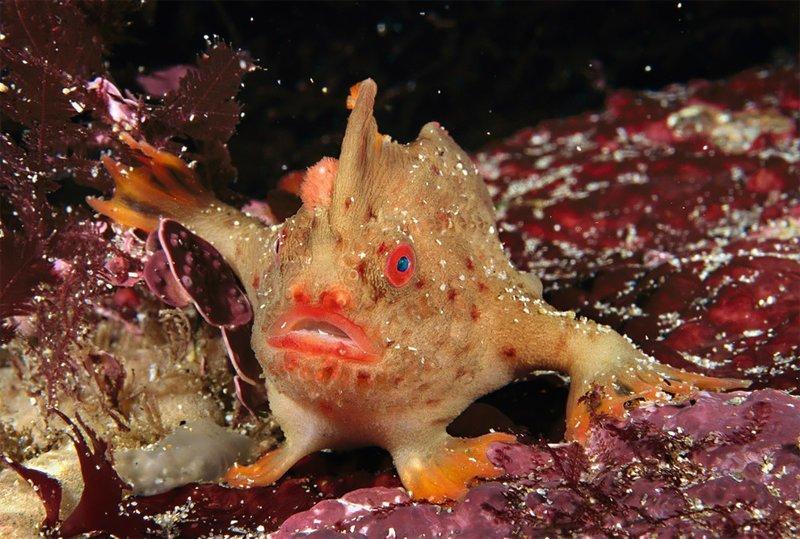 """""""Рыба, которая ходит на плавниках"""", Фред Бавендам Wildlife Photographer of the Year, животные, конкурс, мир, под водой, природа, фотография, фотомир"""