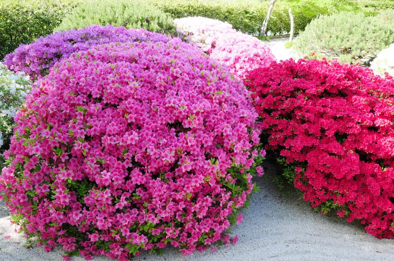 Азалия садовая фото