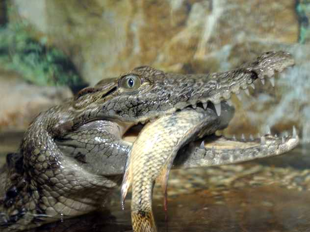 В цирке Чебоксар крокодил перелез со сцены к зрителям