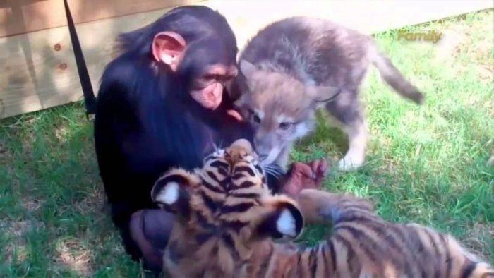 Волчонок, 2 тигрёнка и детёныш шимпанзе — неразлучные друзья!