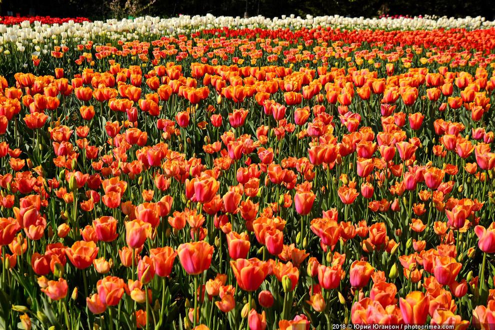 Тюльпановое безумие в Крыму