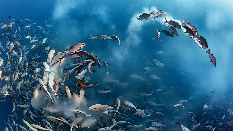 """Вечеринка кампечинских луцианов"", Тони Ву Wildlife Photographer of the Year, животные, конкурс, мир, под водой, природа, фотография, фотомир"