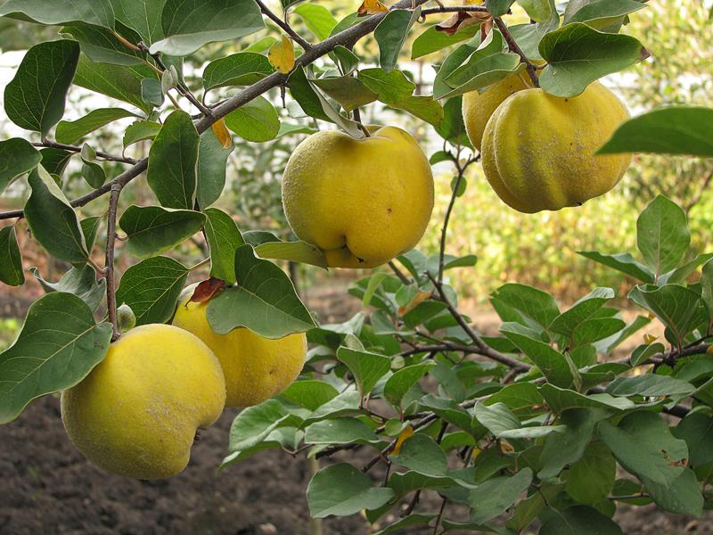 Сорт яблони Изумительное Россошанское вкусное