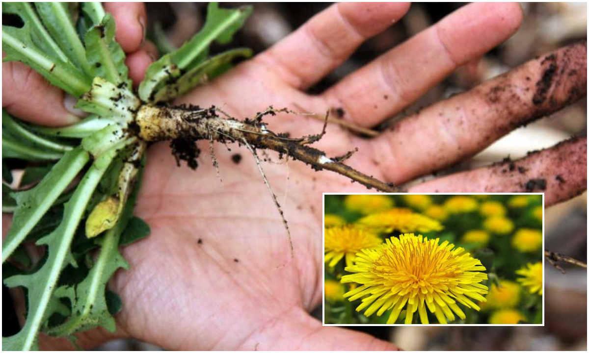 Ранней весной накопала корни одуванчика и избежала удаления щитовидки
