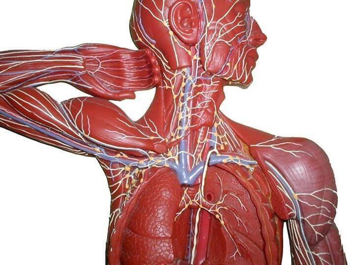 Остеопатический взгляд на лимфу