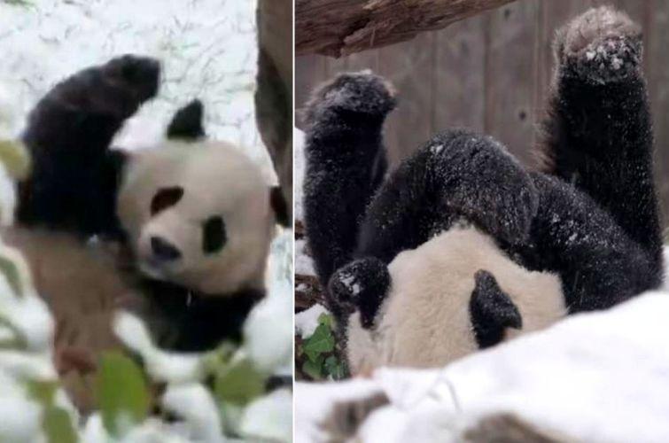 Смотрите как панда Бей-Бей радуется первому снегу, и радуйтесь вместе с ней