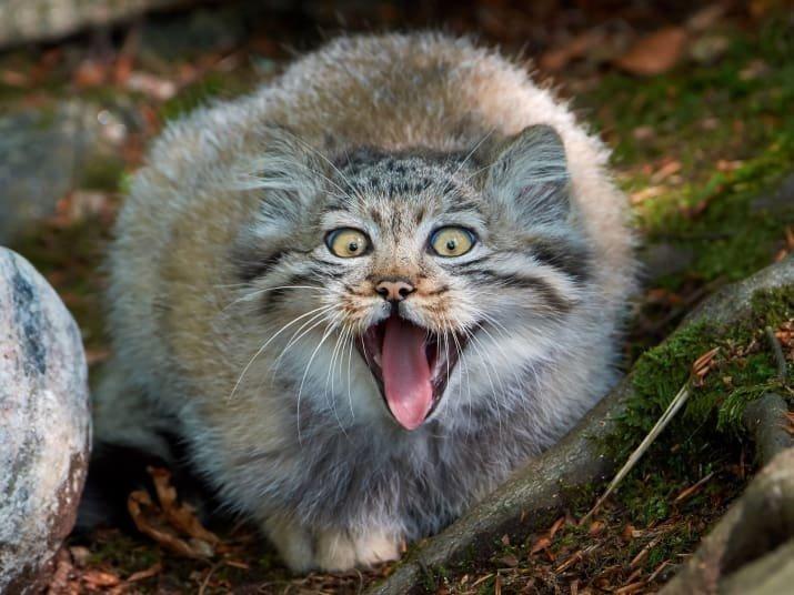 Манулы - самые харизматичные дикие кошки!