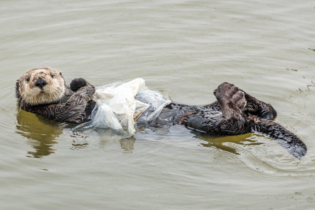 Выдра спала в воде, сжимая кусок пластика, но фотограф заметил ее и забеспокоился
