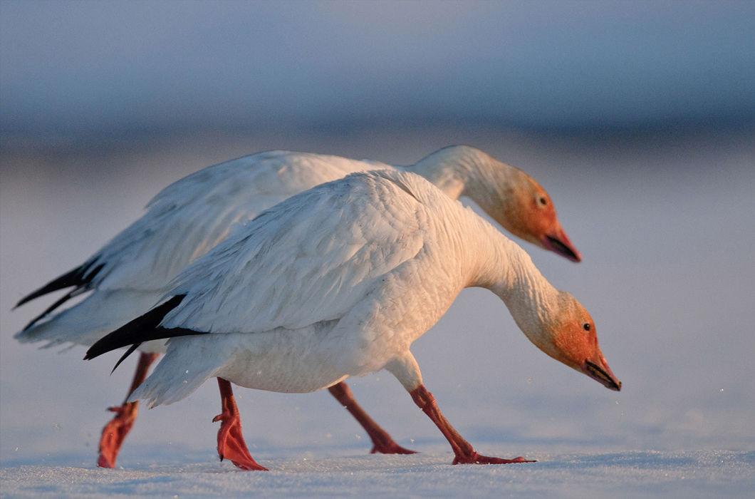 Разнообразие фауны на острове Врангеля