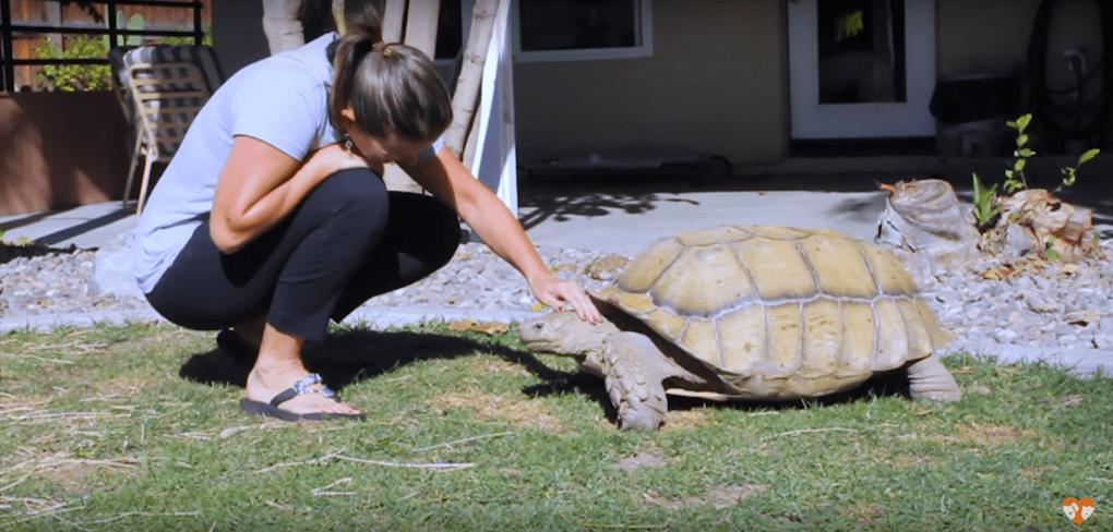 Эта черепаха никогда не ладила с другими животными, поэтому хозяйка испугалась, когда один из её щенков неожиданно пропал...