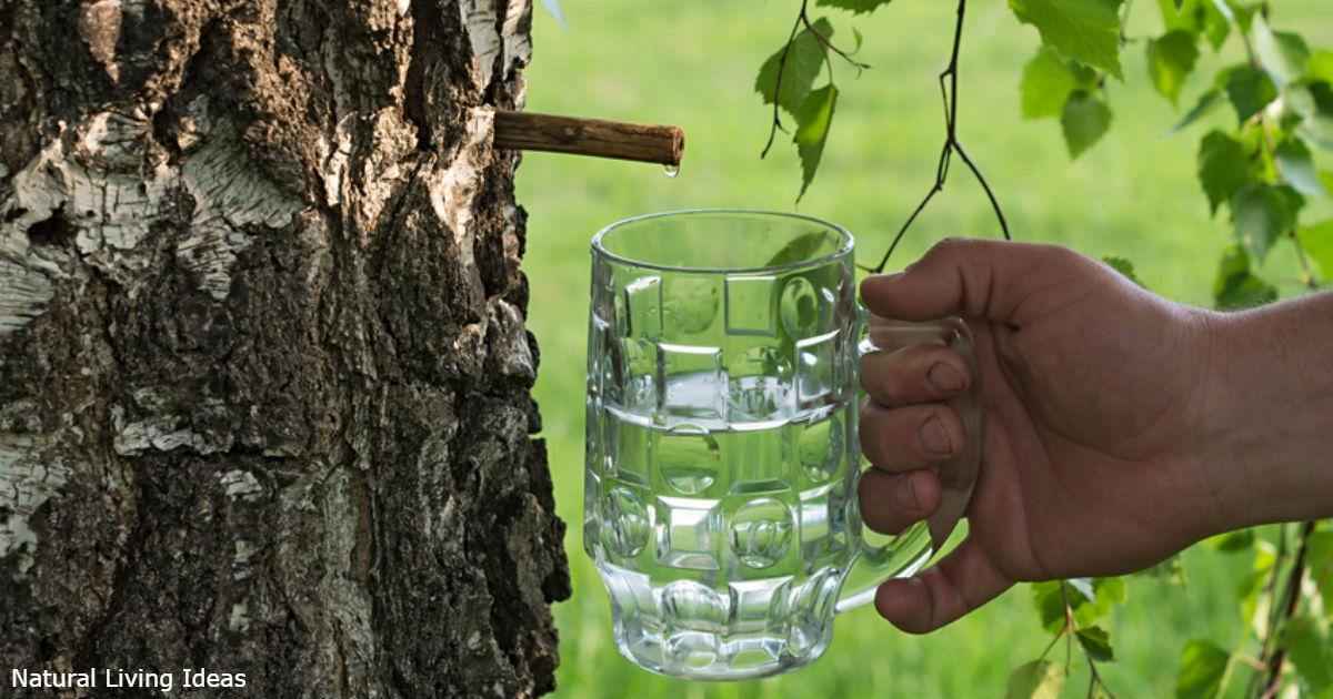 Березовый сок лечит цистит и не только! Вот подробности