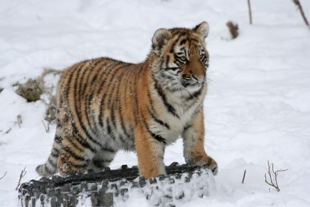 В Китае родилось 98 детенышей амурского тигра