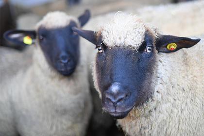 Овцу скрестили с человеком