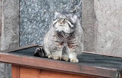 Манул из Московского зоопарка не верит в приход весны