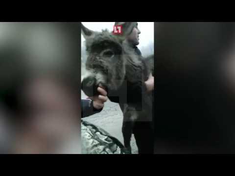 В столицу,на учебу: Житель Дагестана пытался отправить своего осла на автобусе в Москву