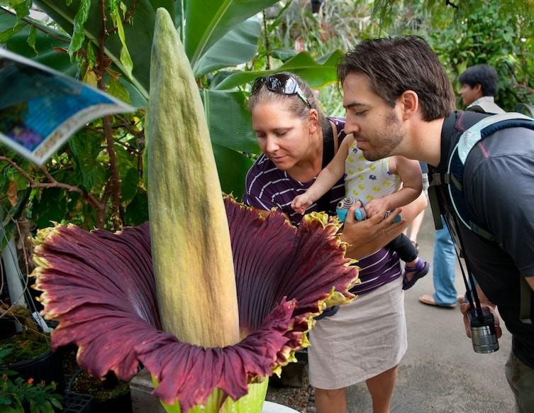 Трупный цветок необычное, природа, удивительное