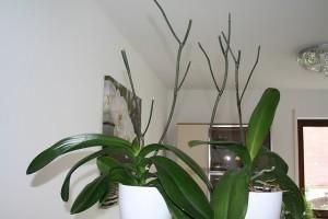 Как правильно обрезать орхидею после цветения в домашних условиях