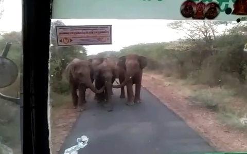 Атака ушастых: этим слонам не понравился автобус