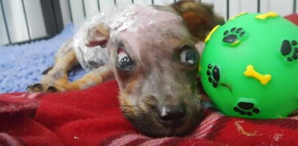 Щенок, облитый кипятком, выжил несмотря на свои травмы