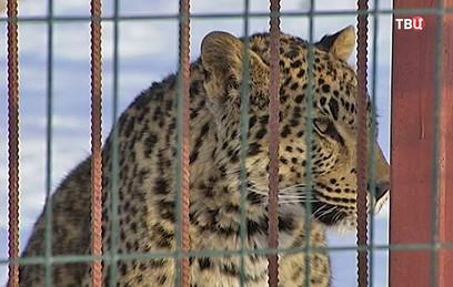 В нацпарке Приморья выросло число редких дальневосточных леопардов