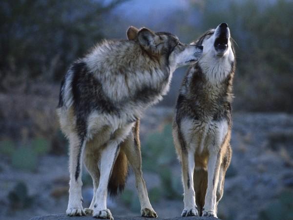 Как волки меняют направление рек