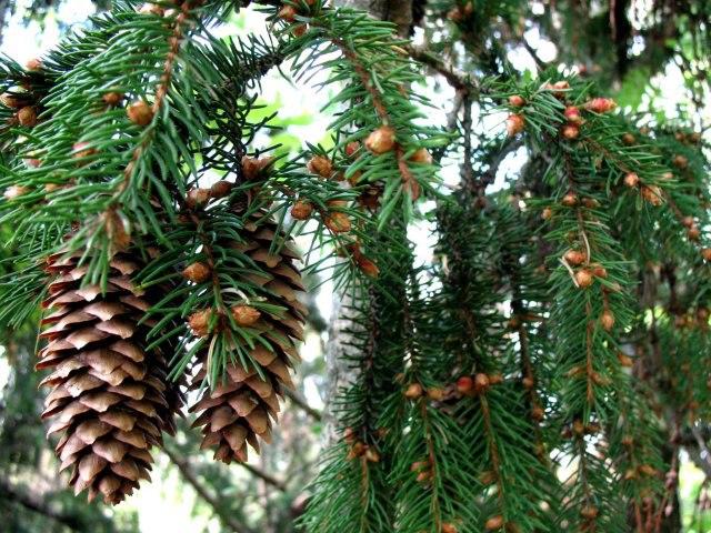 Полезные свойства хвойных растений