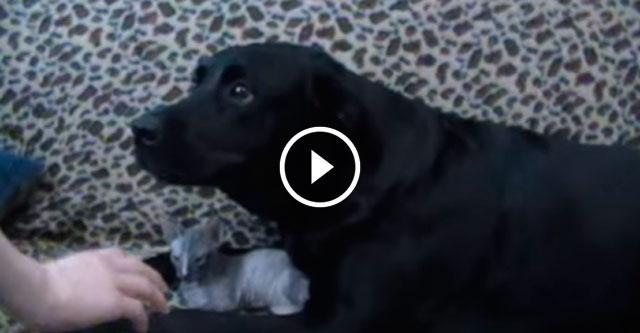 Лабрадор взял шефство над маленьким котенком и даже хозяевам не позволяет его трогать