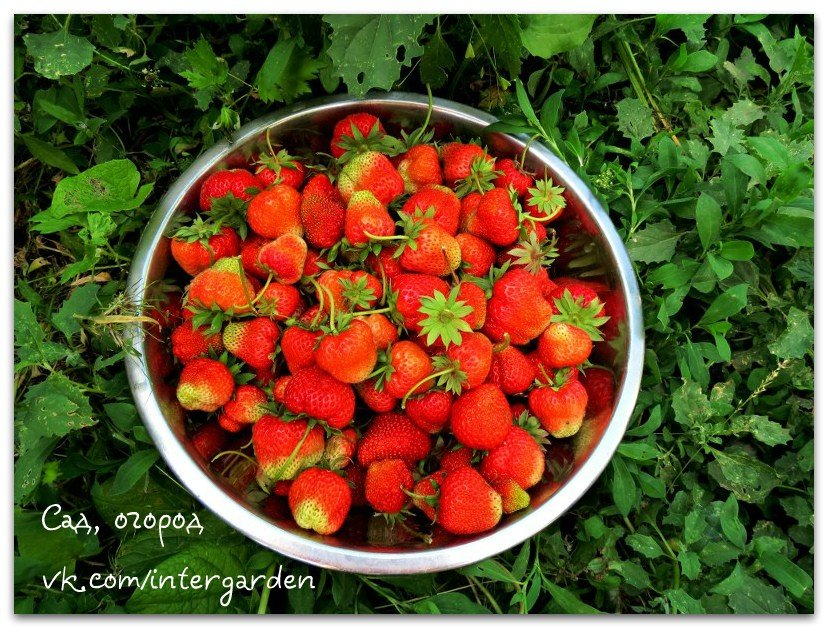 Простые способы увеличить урожайность клубничных грядок