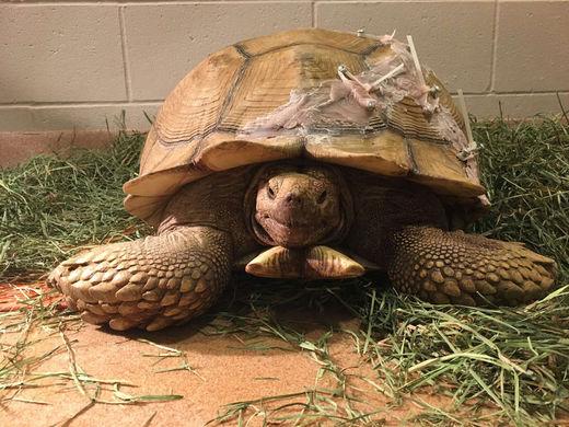 Черепахе провели операцию по восстановлению панциря