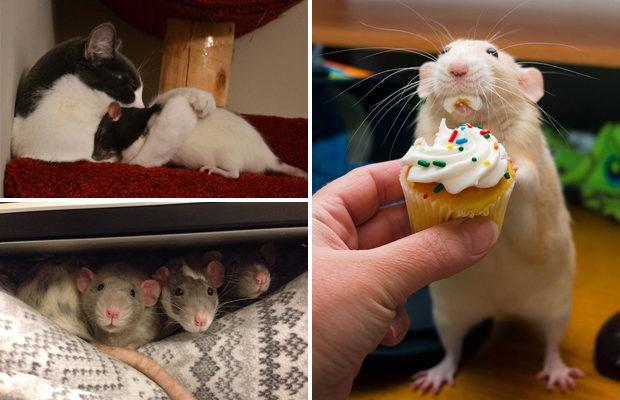 Жизненные уроки от милых крыс