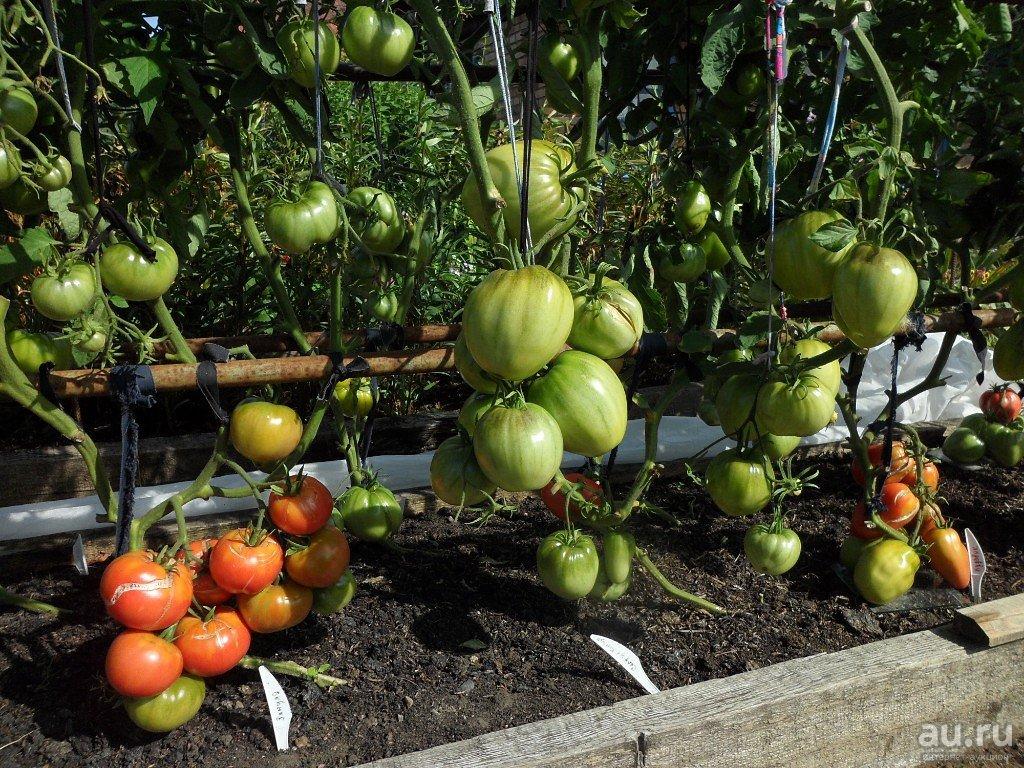 Выращивание томатов по Маслову