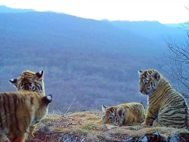 """В """"Земле леопарда"""" засняли уникальное видео с четырьмя играющими тигрятами"""