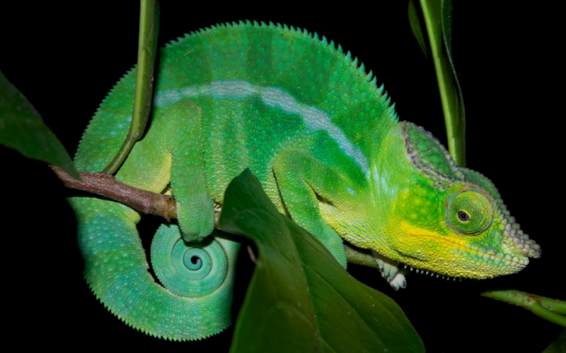 Природный камуфляж: тайна удивительной окраски хамелеона