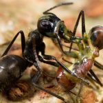 «Взрывающихся» муравьев обна…