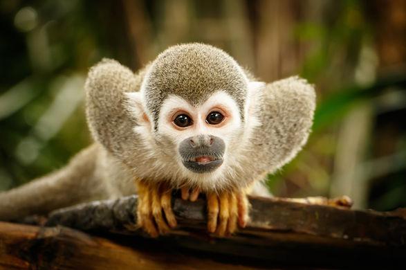 В зоопарке Новой Зеландии обезьяны отбились от воров