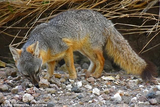 Фолклендская лисица Галапагосы, австралия, животные, интересно, мадагаскар, познавательно, редкие животные, эндемики