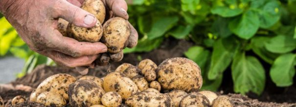 Способы и схемы посадки картофеля, как и на какую глубину сажать