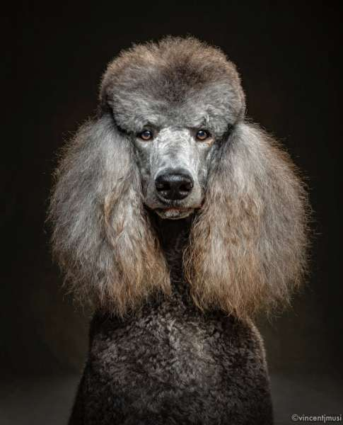 Очаровательные портреты собак от фотографа Винсента Дж. Муси