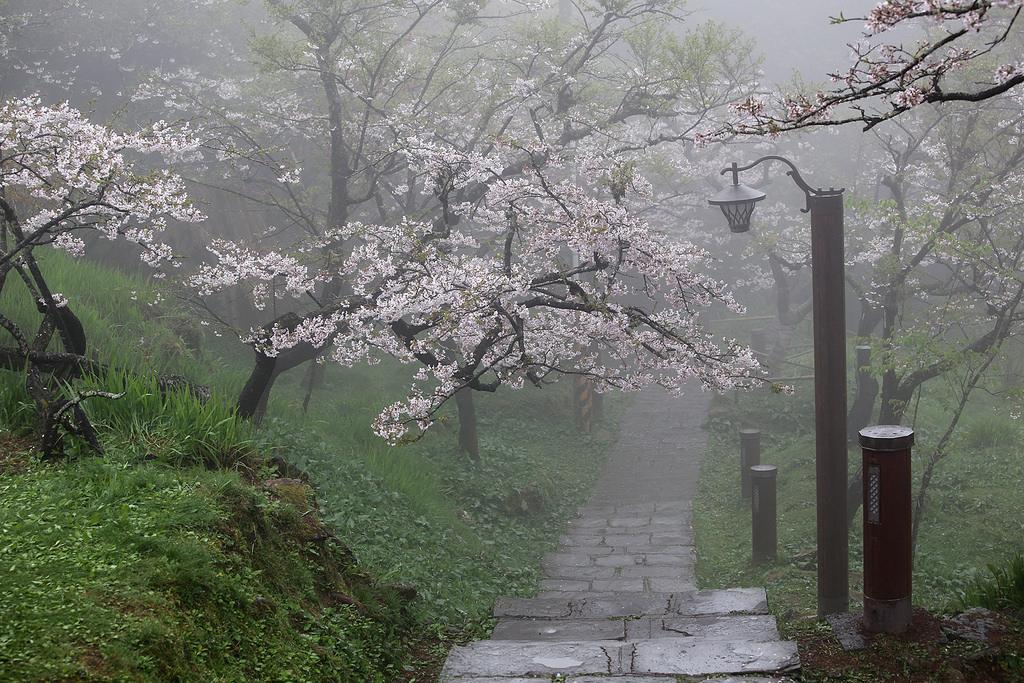 Цветущие вишни