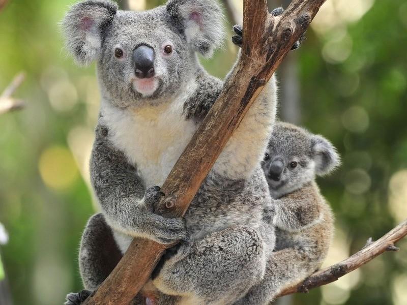Хищные коалы 10 фактов о Австралии, австралия, факты