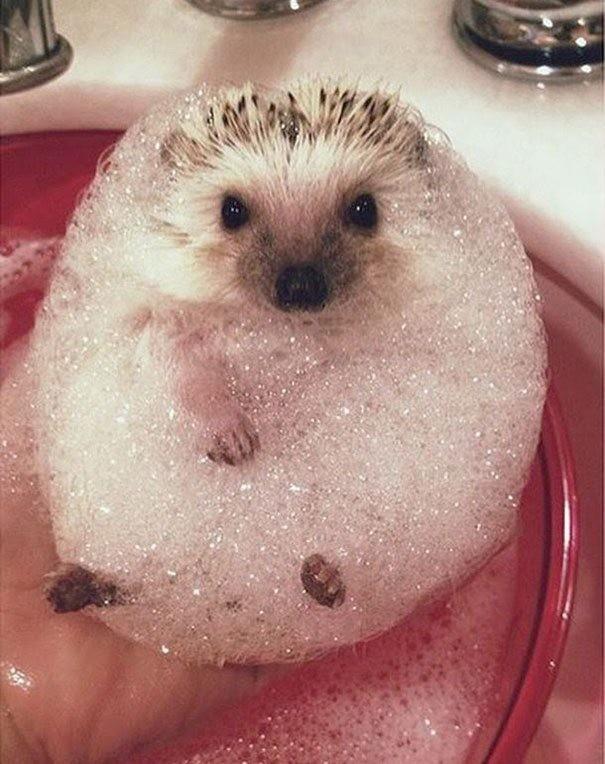 Ежик обожает пену для ванны! ванна, вода, домашние питомцы, животные, милота, позитив