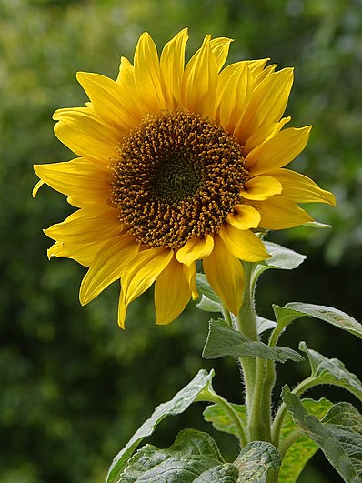 https://upload.wikimedia.org/wikipedia/commons/thumb/a/a9/A_sunflower.jpg/398px-A_sunflower.jpg