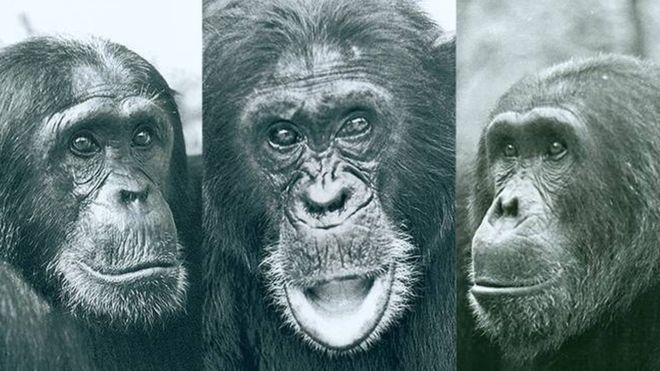 Ничто человеческое им не чуждо: кровавая гражданская война шимпанзе в Танзании.