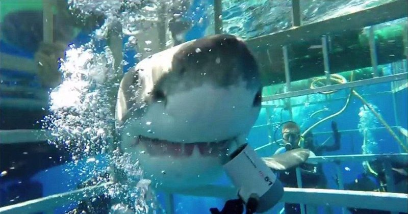 Второй раз на те же грабли: большая белая акула вновь ворвалась в клетку с дайвером