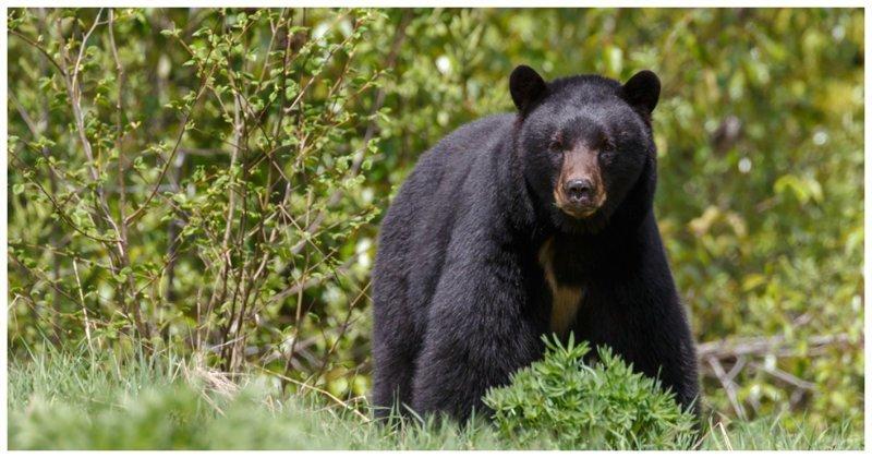 Дикий медведь порезвился на детском батуте