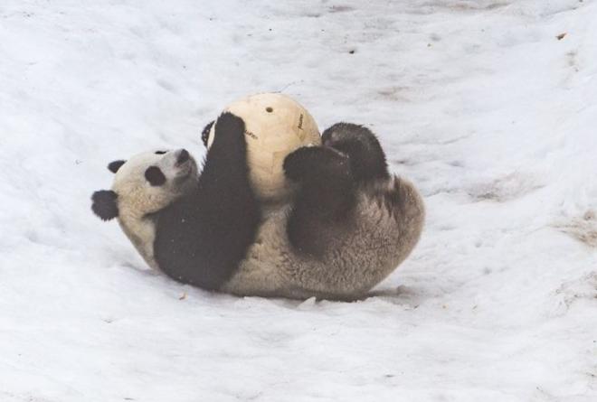 Панды из Китая отлично прижились в Финляндии