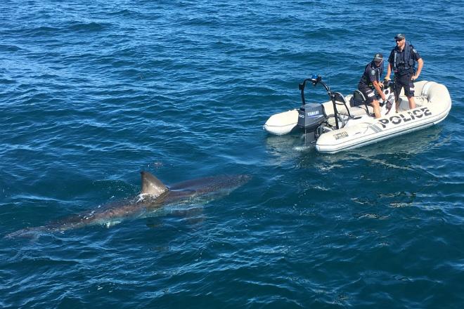 Гигантская хищная акула преследовала полицейских на моторной лодке