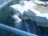 Московский зоопарк. Медведи белые, губач и бурый.Часть2