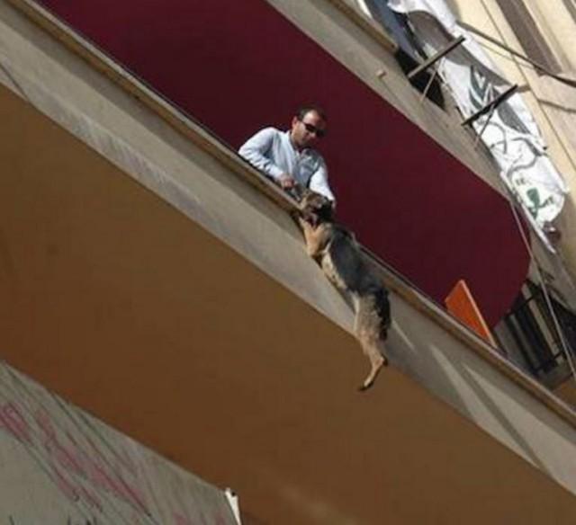 Выбросившись с балкона, эта овчарка спасла себе жизнь